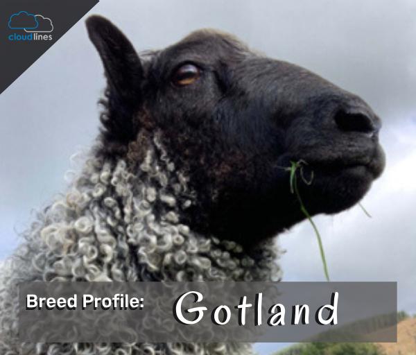 Breed Profile: Gotland Sheep